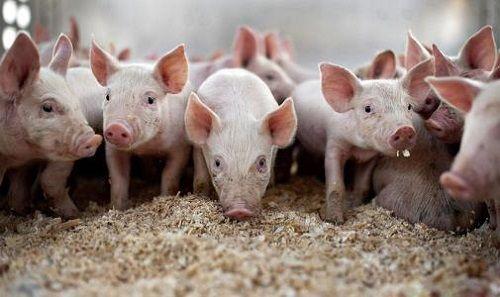 2021年生猪价格最新预测